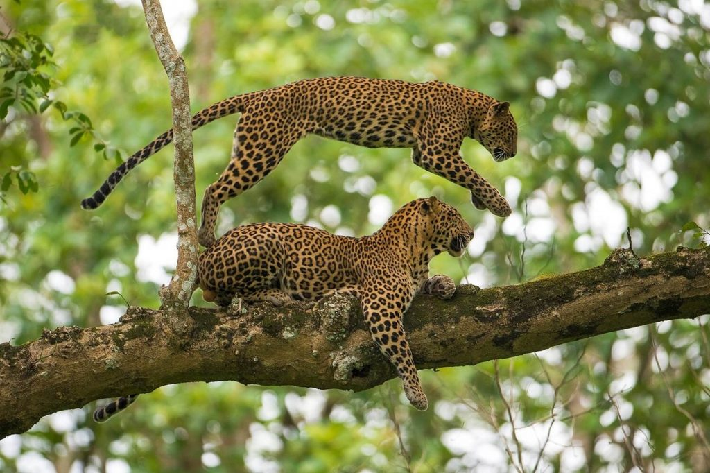 Leopards playing with each other