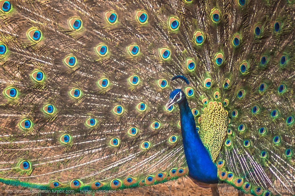 Peacock spotted at the village